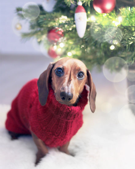 holiday card dachshund christmas sweater