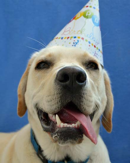 happy birthday card labrador dog